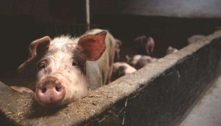 Efectivele de porci si pasari, in cadere libera. Fermierii, la capatul puterilor!