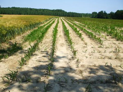 Despagubirile pentru seceta se platesc in septembrie. Rapita, cea mai mare suma (1.002 lei/ha)!