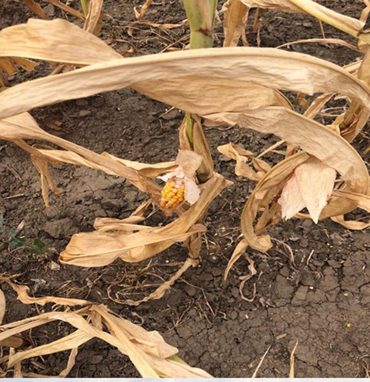 Guvernul a aprobat ajutorul de stat pentru despagubirea fermierilor afectati de seceta!