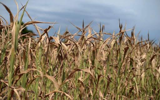 Fermierii cer sa fie platite despagubirile la seceta pana pe 20 august!