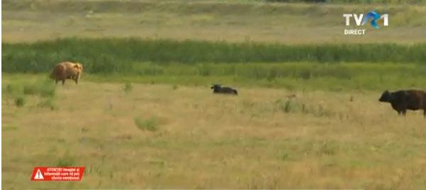 Vaci ucise de erbicid pe un camp la limita judetelor Buzau si Prahova