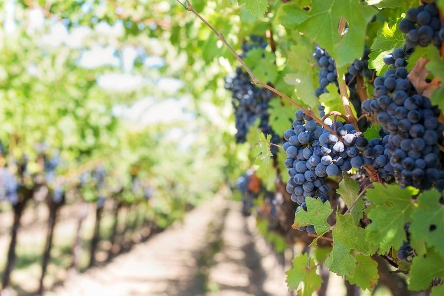 Masuri de sprijin pentru sectorul vitivinicol.  Distilarea vinului, in criza!