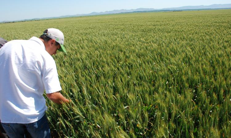 Judetul Braila, pe primul la productia de seminte pentru agricultura