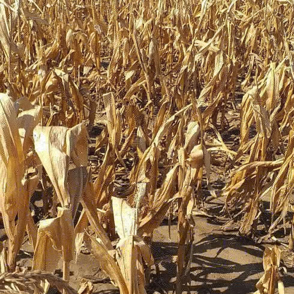 Peste 2.000 hectare de porumb calamitate de seceta in Olt