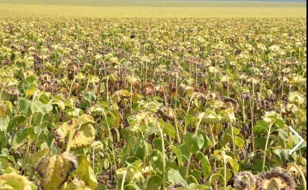 Seceta a compromis culturile de porumb si floarea soarelui la Iasi
