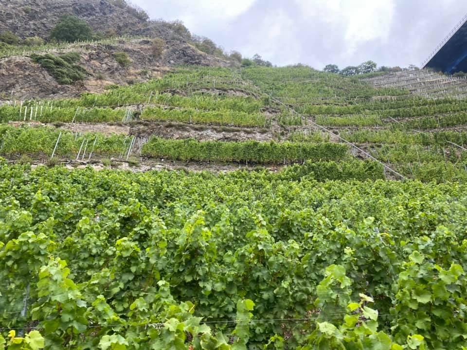 Viticultorii vor primi un ajutor de stat de 500 euro/ha!