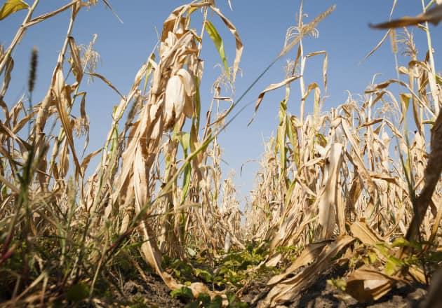 Situatia pe judete privind despagubirile pentru culturile de toamna afectate de seceta