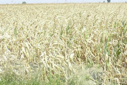 INCREDIBIL! DAJ Ialomita a omis sa evalueze 8.313 hectare de teren calamitate de seceta!
