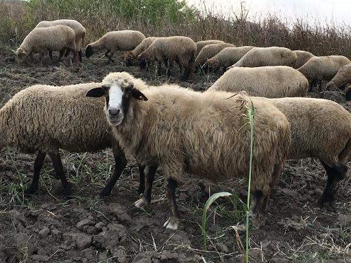 Crescatorii de ovine si caprine primesc 17,9 euro pe cap de animal
