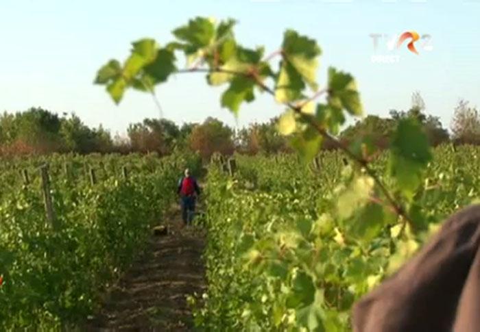 Productie mica de struguri in Vrancea, din cauza secetei