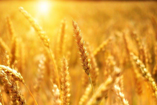 Preturile la cereale si seminte oleaginoase, pe crestere si in 2021