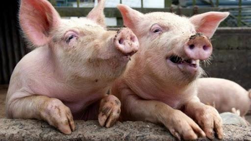 Povestea porcului din gospodariile taranesti