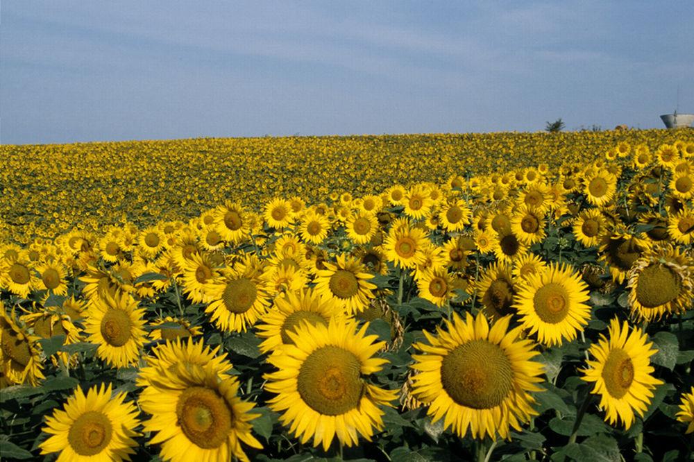 Top producatori floarea soarelui in UE