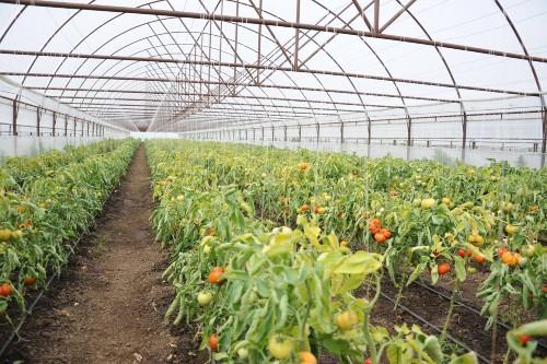 Sprijin cuplat de 5.000 euro/ha pentru producatorii de legume cultivate in spatii protejate