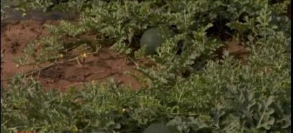 Suprafete mai mici cu pepeni la Dabuleni, in acest an.  Producatorii spun ca nu mai este rentabil