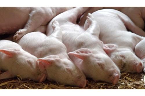 Calin Musca: Nu se poate sa produci sub 20% din consumul de carne de porc
