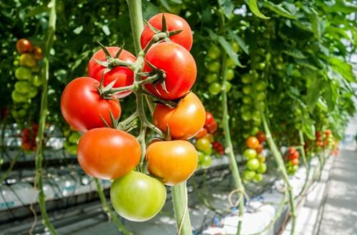 Ajutor de minimis la legumele cultivate in spatii protejate. Valorificarea productiei: 2 noiembrie – 2 decembrie