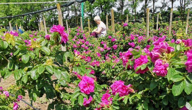 Afacerea cu petalele de trandafiri de la Cobadin. Mai mult pasiune decat profit