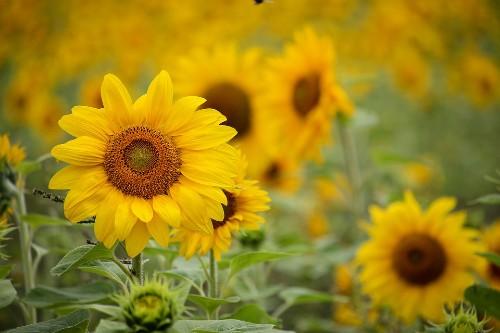 Ministrul Agriculturii: Previziunile privind productiile de floarea soarelui si porumb  nu sunt prea bune, din cauza secetei