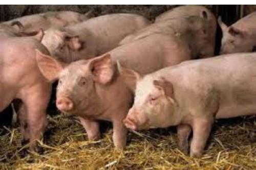 Proiect. Noi reguli pentru cresterea porcilor: nu mai pot fi hraniti cu resturi alimentare, iar la ei se intra cu incaltaminte dezinfectata