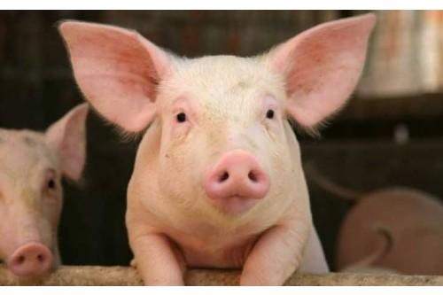 Proiect ANSVSA de interzicere a cresterii porcilor in aer liber in contextul PPA
