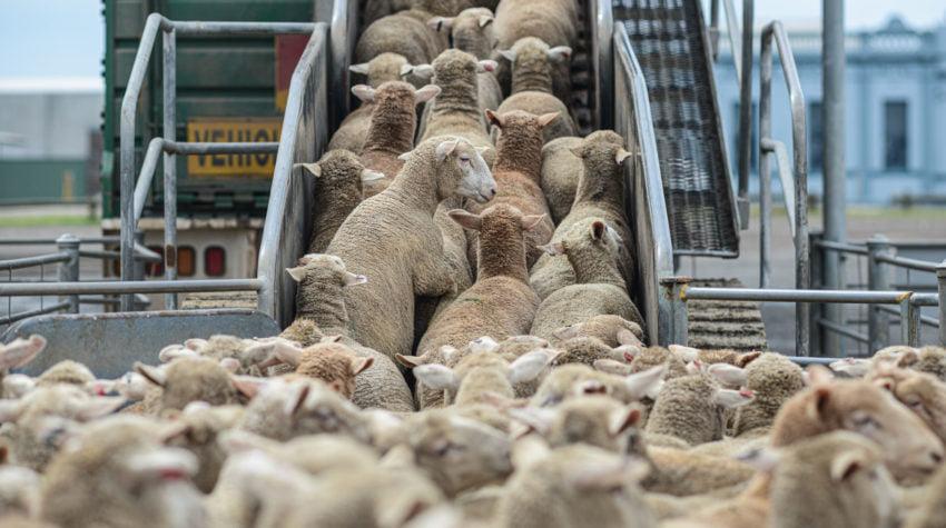 Transporturile de animale efectuate pe distante lungi, suspendate temporar din cauza caniculei
