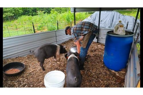 ANSVSA nu interzice si nu limiteaza cresterea porcilor in gospodariile populatiei. Masuri de biosecuritate suplimentare