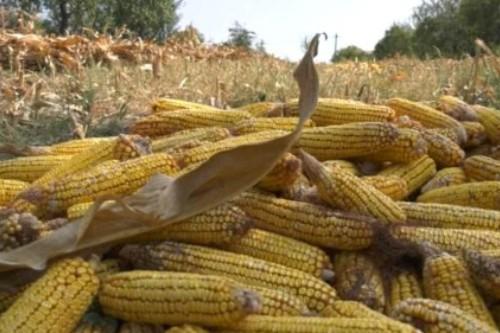 Fermierii se asteapta la o productie de porumb mai mica cu circa 30%, in acest an. Starea de fapt a agriculturii romanesti